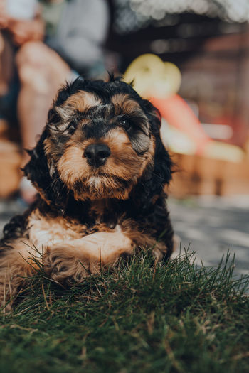 Portrait of a cute two month old cockapoo puppy relaxing in the garden, looking at the camera.