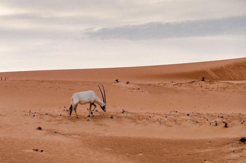 Arabian oryx walking on desert