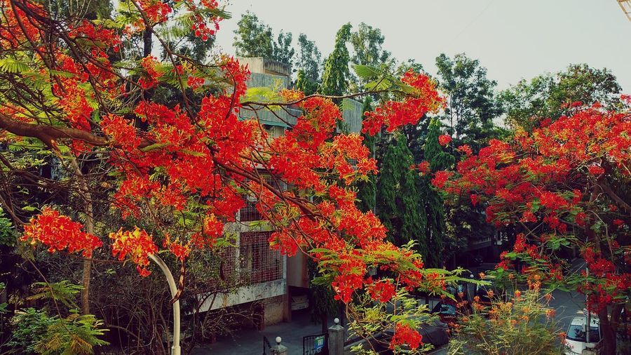 Red Flowers Naturelovers Nature Photography Nature_collection Gulmohartree Morningview Upclose Street Photography Streetsofindia Puneclickarts Punediaries Pune City