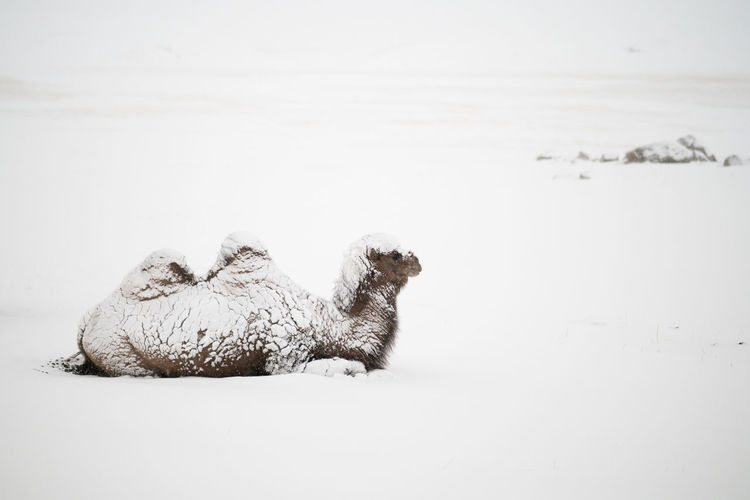 Animal Themes Animal Mammal One Animal Pets Vertebrate Domestic Relaxation Domestic Animals Cold Temperature Snow Winter No People Sitting Nature Animals In The Wild Animal Wildlife Camel Winter