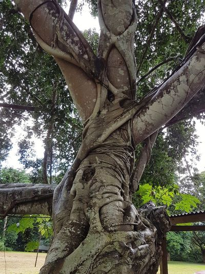 Tree Day Low Angle View Branch Outdoors Nature Tree Trunk No People Close-up Sky Beauty In Nature Air Roots Low Angle View