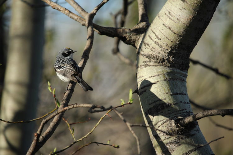 Beauty Of Nature Shadow Warbler Warbler On A Tree Yellow Rumped Warbler Bird Tree Branch Perching Tree Trunk Close-up