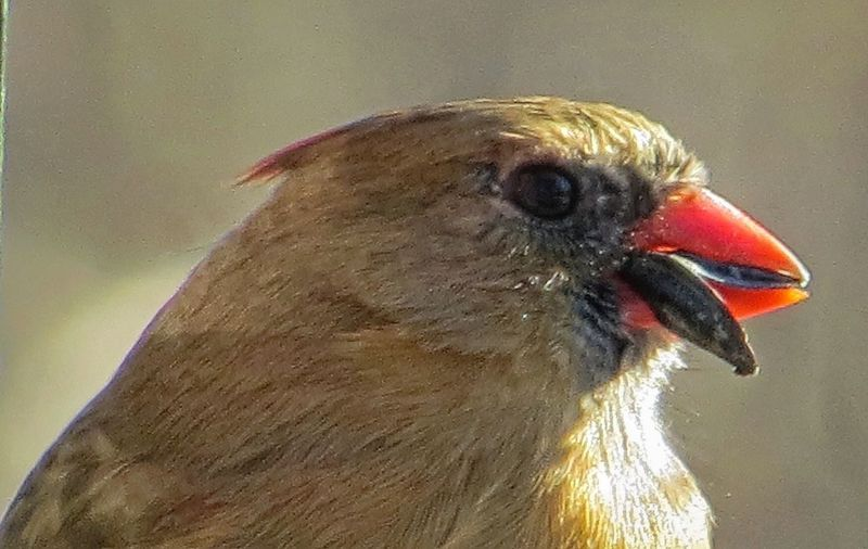 Upclose  female Cardinal Check This Out Lessismore Laugh Now Cry Later From My Point Of View Nature On Your Doorstep Nature_collection Mybackyard Bird Photography Birdwatching Birds_collection Birds Of EyeEm  Nature Photography Nature_perfection Outdoors Need Peace Taking Photos