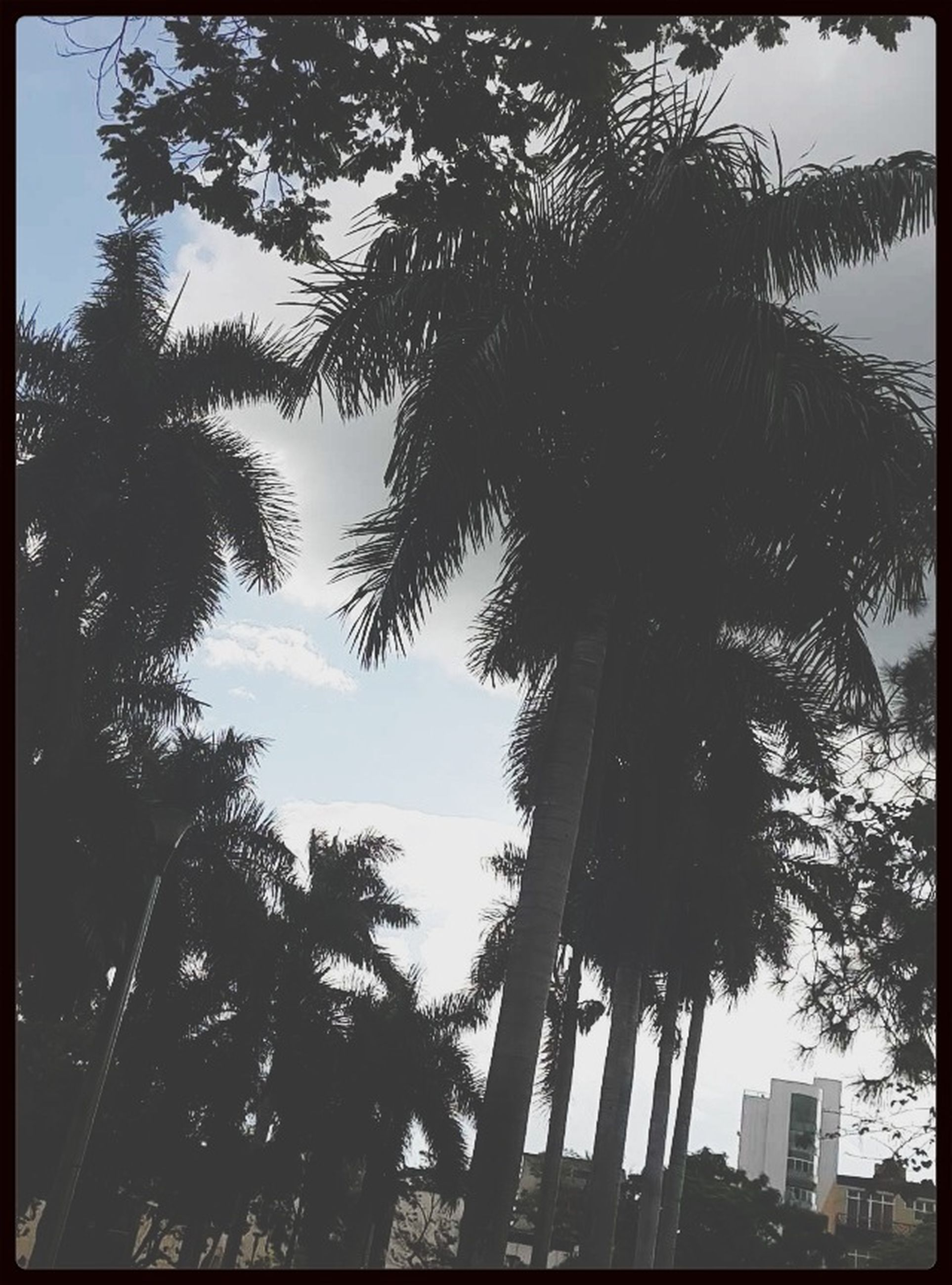 transfer print, tree, low angle view, auto post production filter, branch, sky, growth, silhouette, tree trunk, nature, palm tree, tranquility, outdoors, beauty in nature, no people, day, sunlight, scenics, built structure, tall - high