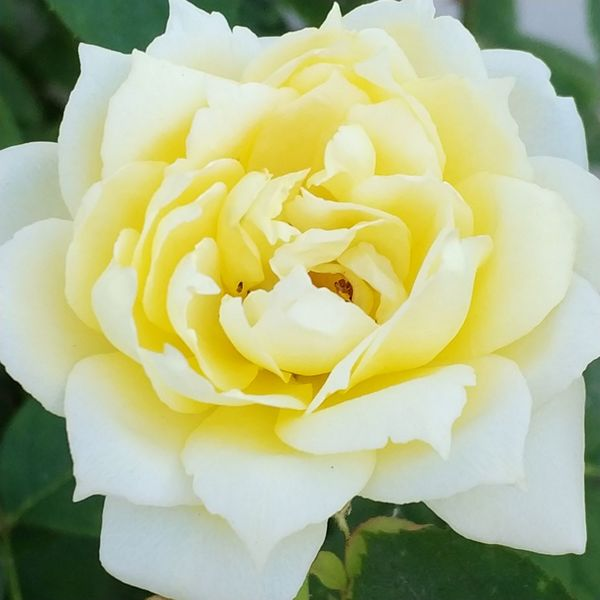 Life in yellow 💐💛 Beauty In Nature Flower Rose🌹 No Filter, No Edit, Just Photography Rose - Flower Nature Flower Head Petal Yellow Color Close-up Yellow Outdoors Beauty In Nature Iloveflowers Freshness Fragility No People Soft Focus
