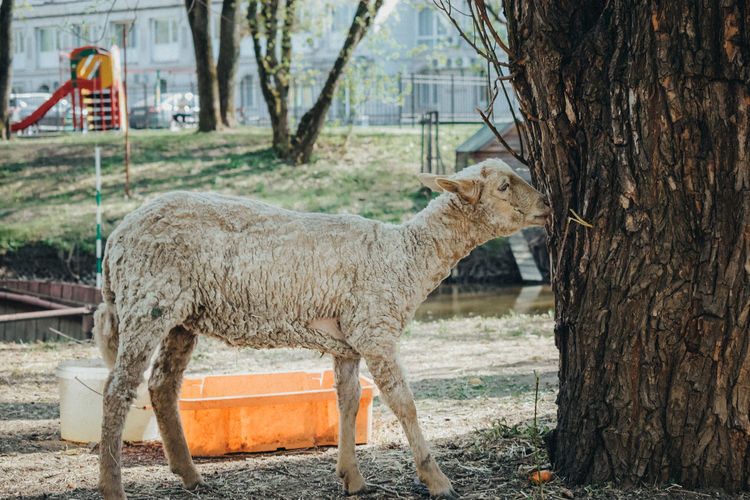 Tree Animal Themes Sky Livestock Animal Pen Stable Livestock Tag Domestic Cattle Highland Cattle Cattle Water Buffalo Cow Goat Herbivorous Bridle Calf Domesticated Animal Tag Oil Well Kid Goat Horse Paddock Chainlink Fence Barbed Wire Chainlink Oil Pump Fence