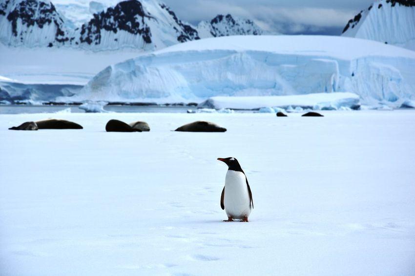 Animal Themes Antarctic Antarctic Peninsula Antarctica Cold Temperature Frozen Frozen Glacier Ice Iceberg Icebergs Landscape Mountain Mountains Penguin Snow Tranquility Winter Wonderland