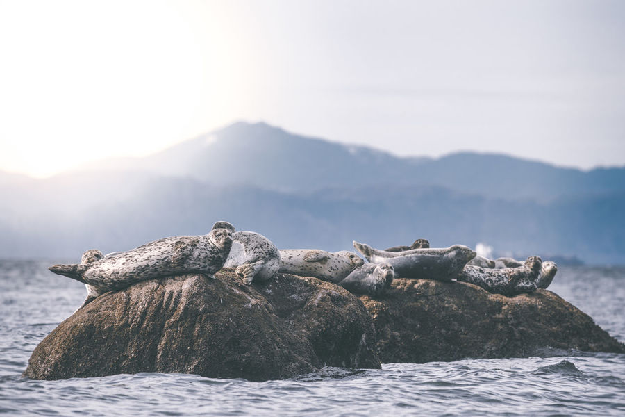 Harbour seals on rocks Animals In The Wild Beauty In Nature Coastal Feature Day Eco Tourism Harbour Seals Large Group Of Animals Natural Habitat Nature Nature No People Outdoors Resting Seals Wildlife Wildlife & Nature Wildlife Photography