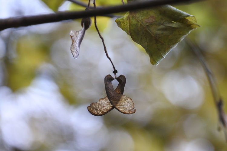 Maple Seeds Youandme AndIloveyouforever Hangingoutwithyou Issomuchfun Hanging Branch Close-up