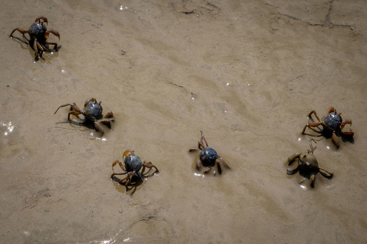 crab Adult