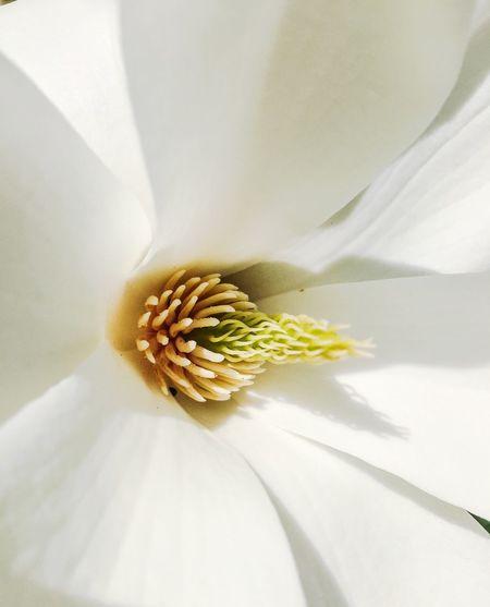 Magnolia Macro_flower Macro_collection EyeEm Nature Lover Magnolia Macro Photography Flowerporn Flowers Spring