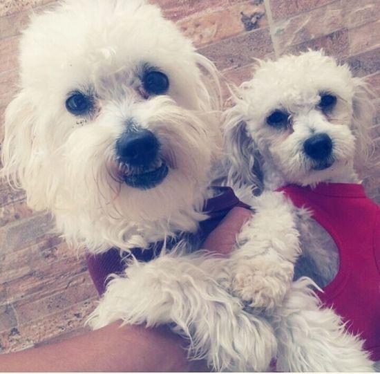 Pet Portraits Kratos Pets Domestic Animals Poodle Dog Cute Puppy First Eyeem Photo