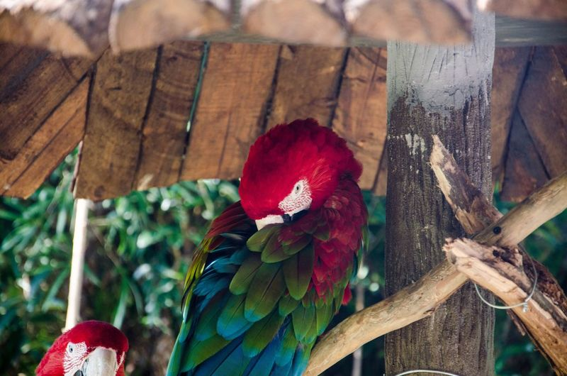 Close-up of scarlet macaws under roof