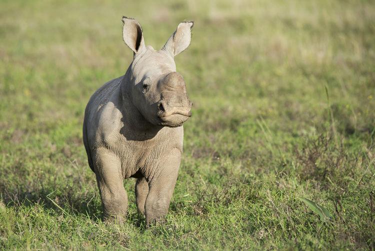 Rhinoceros On Field