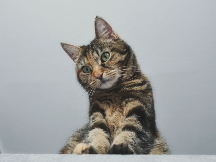 Portrait of tabby cat sitting against wall
