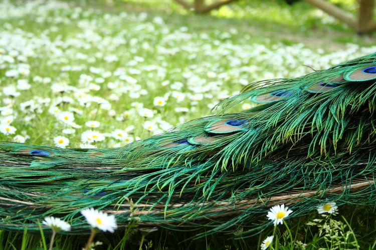 Cropped image of peacock on flowering field