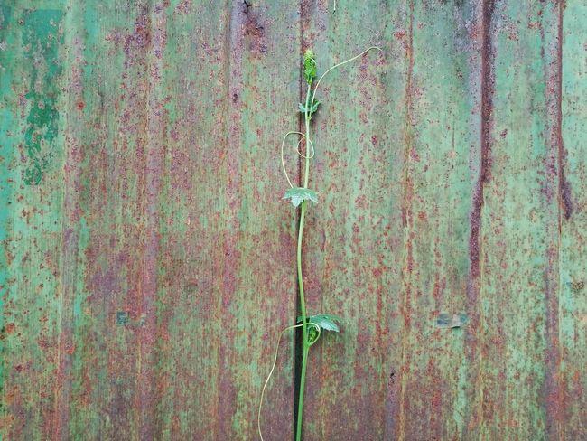 ตำลึง Outdoors Nature No People Close-up Backgrounds Ivy Gourd Green Color Creeping Plant Coccinia Grandis Zinc Fence Galvanized Fence Bangkok Thailand Tree Plant Street Rusty Dirty Abstract Art Texture EyeEm Selects Background Retro Old