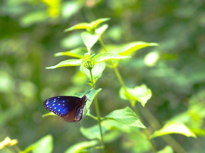 他人の写真を見ていたら蝶々が撮りたくなって、仕方がないので撮ってきた。昆虫撮りは一体何年振りだろう… Insect Butterfly One Animal Animal Themes Green Color Focus On Foreground Leaf No People Close-up Olympus OM-D E-M5 Mk.II