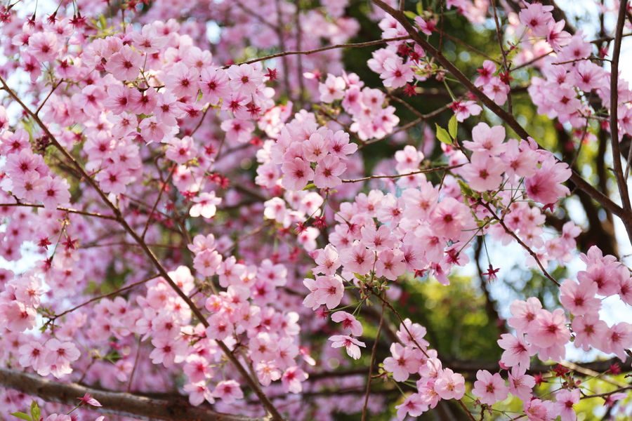 2017 Beauty In Nature Cherry Cherryblossom Day Flower Flower Head Fragility Freshness Growth Japan Nature Outdoors Petal Pink Pink Color Spring Tokyo Tree サクラ 桜 花