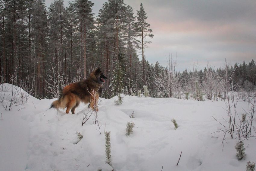EyeEm Ready   Forest Snow Winter Cold Temperature Animal Themes Weather One Animal Nature Beauty In Nature Dog Outdoors Lapland Belgian Shepherd Tervueren Landscape (null)Snow ❄ Pets Weather Winter Beauty In Nature The Traveler - 2018 EyeEm Awards
