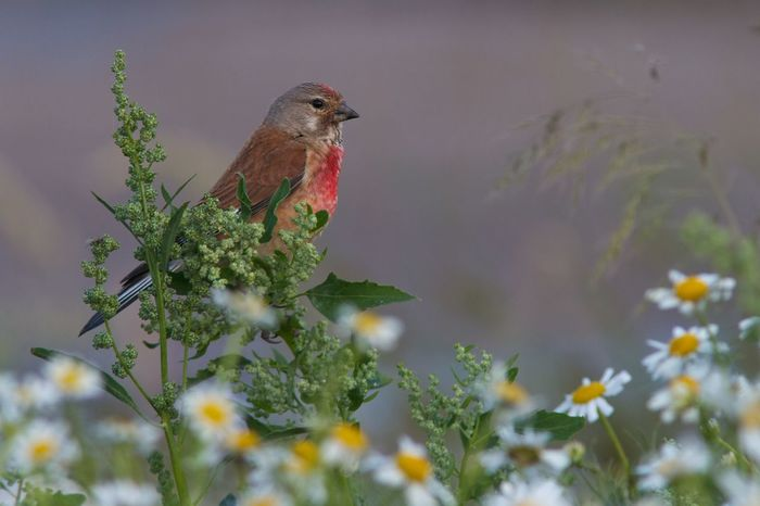Bird Animal Themes Animals In The Wild Nature Focus On Foreground No People Songbird  Close-up Outdoors Nature Photography Bird Photography Best EyeEm Shot Linnet