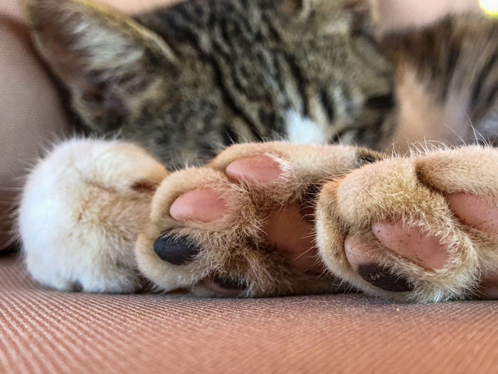 Paw pad as tabby cat sleeps Adorable Animal Animal Print Background Cat Cat Paw Claw Color Cute Design Dog Dog Paw Domestic Feline Foot FootPrint Footstep Fur Hand Hunter Isolated Kitten Kitty Leg Macro Mammal Nature Palm Pattern Paw Paw Prints Pawprint Paws Pet Pet Shop  Puppy Relax Relaxation Shape Silhouette Symbol Tabby Texture Toe Trace Track Trail Wallpaper White Wildlife