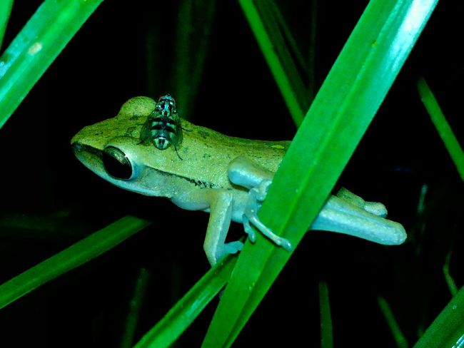 Animals In The Wild Nature Photography Animal Frog Natures Diversities Eyem Nature Lovers  Animal Themes Indonesian Street (Mobile) Photographie From The Point Of My View Nature In The Night Animals Close-up Animal Photography Beauty In Nature