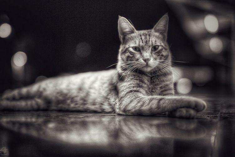 Portrait Of Cat Lying Down Floor