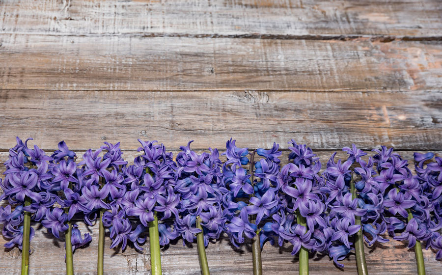 Blooming purple Hyacinthus on vintage wooden board. Love concept Hyacinthus Orientalis Beauty In Nature Close-up Day Flower Fragility Freshness Indoors  Nature No People Purple Wood - Material
