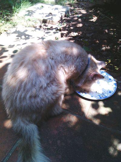 Anh mèo lười chén sạch bữa trưa sau một buổi sáng nằm lì ra tắm nắng :))) YouAreThePrettySunshineOfMyLife