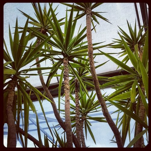 This is #tropical_#palms Palms Tropical_