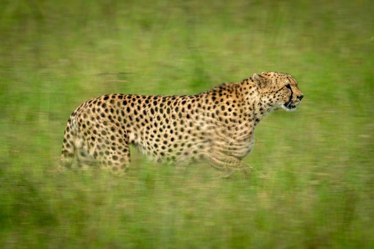 Slow pan of cheetah crossing grass plain