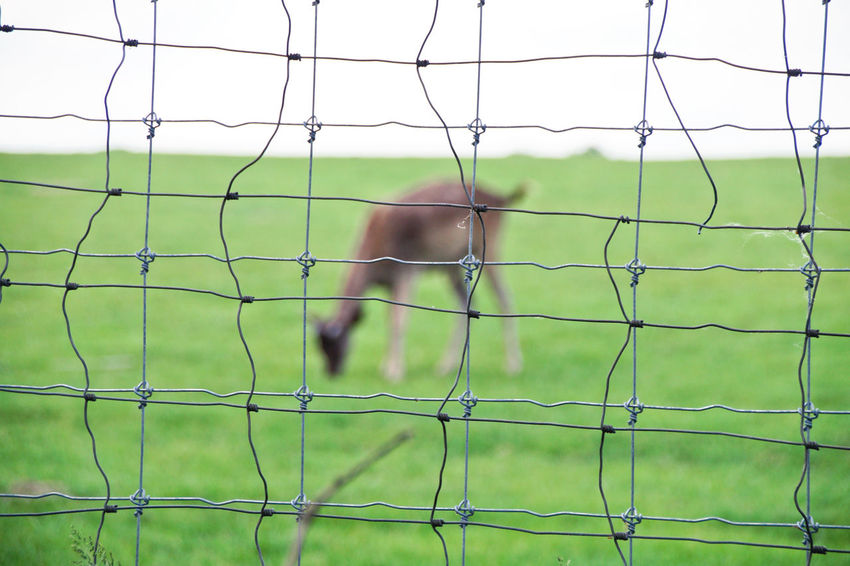 Damwild Deer Barrier Boundary Day Deers Fallow Deer Fence Field Focus On Foreground Grass Green Color Land Nature Net - Sports Equipment Outdoors Plant Playing Field Protection Real People Soccer Soccer Field Sport Team Sport The Great Outdoors - 2018 EyeEm Awards