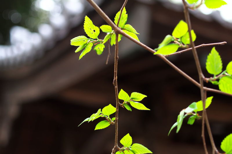 Leaf Plant Part Plant Growth Green Color Nature Close-up Focus On Foreground Day No People Beauty In Nature Outdoors Plant Stem Sunlight Leaves Tranquility Selective Focus Freshness Vulnerability  Creeper Plant Japan