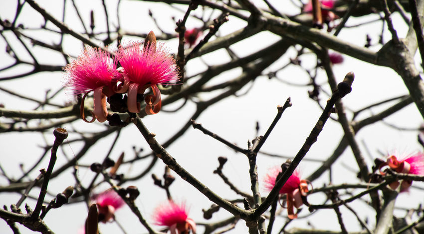 Beauty In Nature Blooming Branch Contrast Flower Flower Head Fragility Freshness Fuschia Flower Growth Mountain Apple Bloom Mountain Apple Tree:) Nature No People Outdoors Petal Pink Color Pink Plush Tree Neon Life