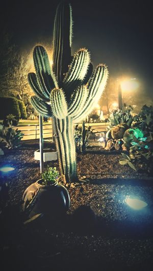 Cactus Lonely Plant Alone Midnightwalk Garden Lights In The Dark City Lights