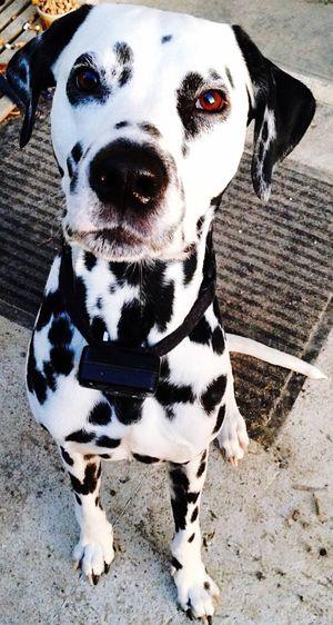 Portrait Of Dalmatian Dog Sitting On Footpath