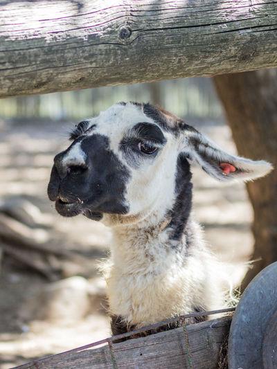 Close-up of alpaca at zoo