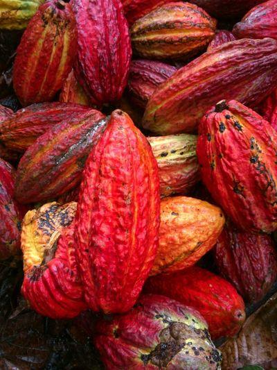 Fruto Del Cacao Con El Cual Se Prepara El Rico Chocolate.