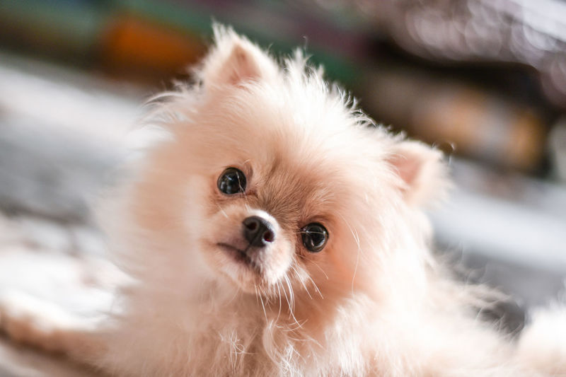 Light brown Pomeranian puppy looking to camera in marble floor room in bokeh background Mammal Domestic Pets Domestic Animals Animal Themes Animal Dog Canine One Animal Vertebrate Looking At Camera Portrait Close-up Pomeranian Focus On Foreground Small No People Cute Lap Dog Indoors  Animal Head  Chihuahua - Dog Pomeranian Puppy Doggy Adorable Happy Bokeh Looking Light And Shadow Brown Fluffy Blurred Background