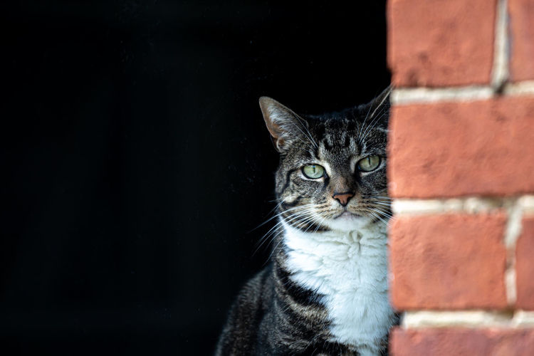 A tabby cat looking at the camera