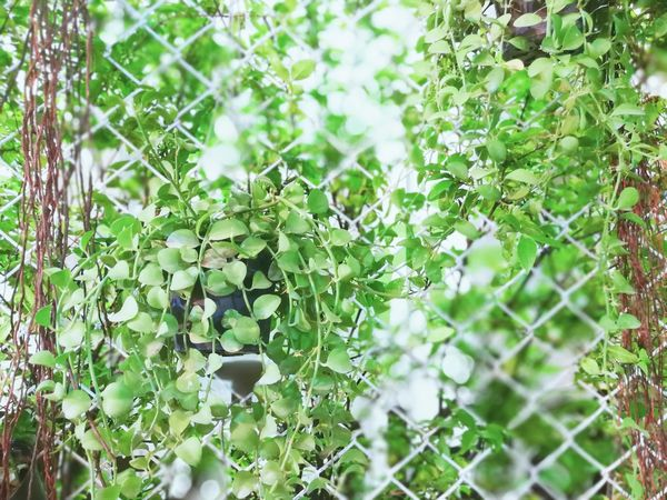 Nature Green Color Plant Growth Leaf Outdoors Day No People Beauty In Nature Backgrounds Close-up Fragility Freshness
