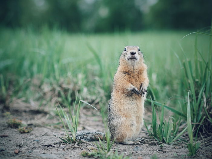 Portrait of prairie dog standing on field