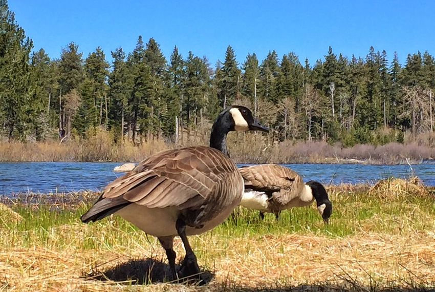 Canadian Geese Nature Water Outdoors