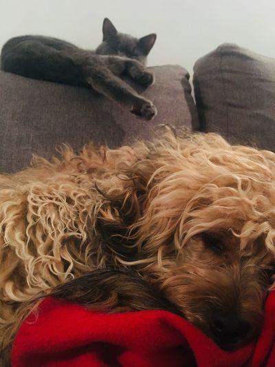 Kot i pies dog