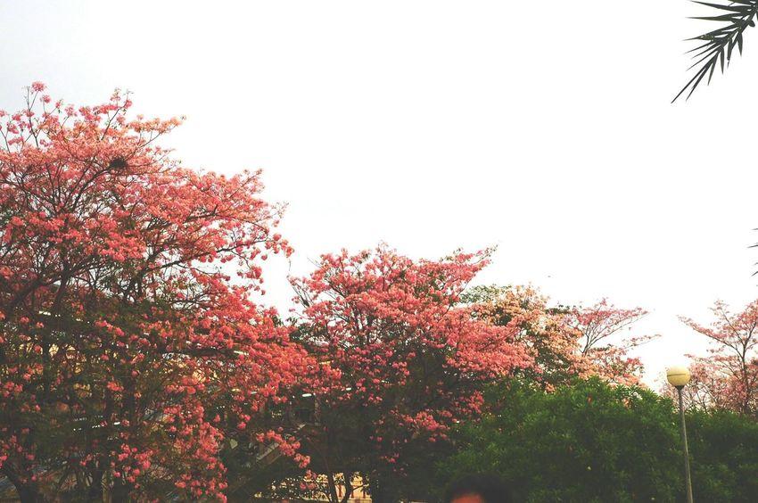 ชมพูพันทิพย์ Tree Nature Beauty In Nature Outdoors Growth No People Sky Sunset Autumn Tranquility Branch Landscape Scenics Treetop Day Freshness
