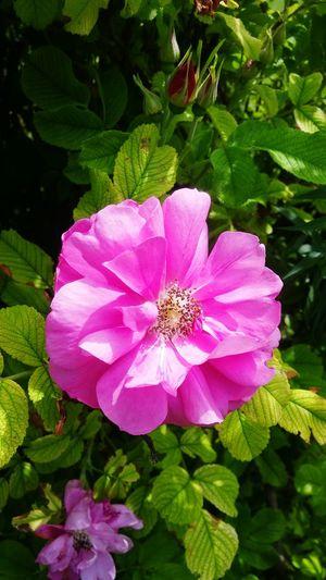 Wild Rose Nature Beautiful Pink Aroma Fresh Outdoors Perfect Summer Greenery Vibrant