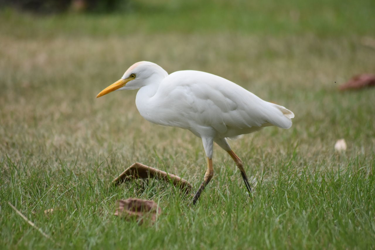 animal, animal themes, animal wildlife, grass, vertebrate, one animal, bird, animals in the wild, land, white color, day, nature, field, plant, no people, side view, selective focus, outdoors, full length, walking, animal neck