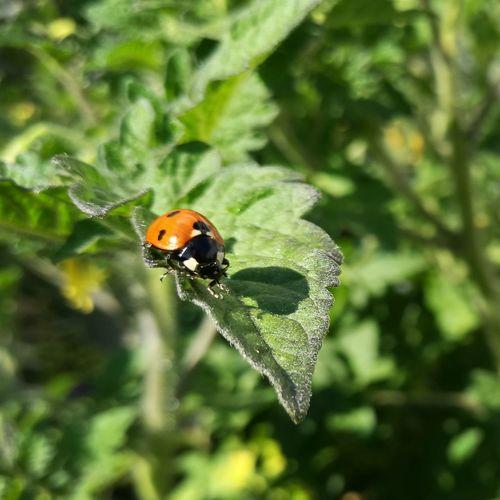 Ladybug in the backyard Ladybug Lieveheersbeestje Tomato Plant Backyard Sunshine Shadow Relaxing Macro Photography