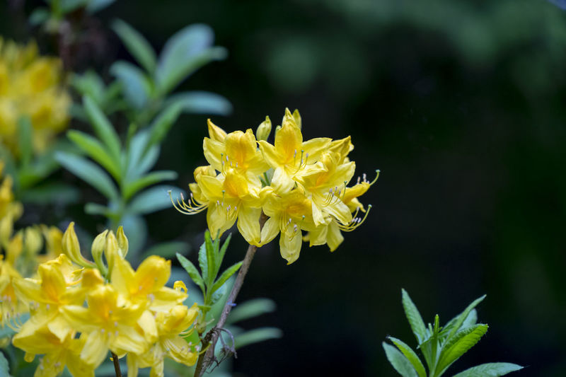 Azalea with yellow blossoms Beautiful Copy Space Elegant Nature Azalea Beauty In Nature Blooming Blossoms  Close-up Day Flower Focus On Foreground Fragility Freshness Garden Growth Leaves Outdoors Petal Plant Spring Yellow